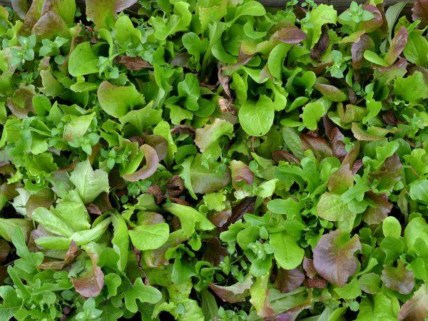 En tät matta av gröna sallatsblad.