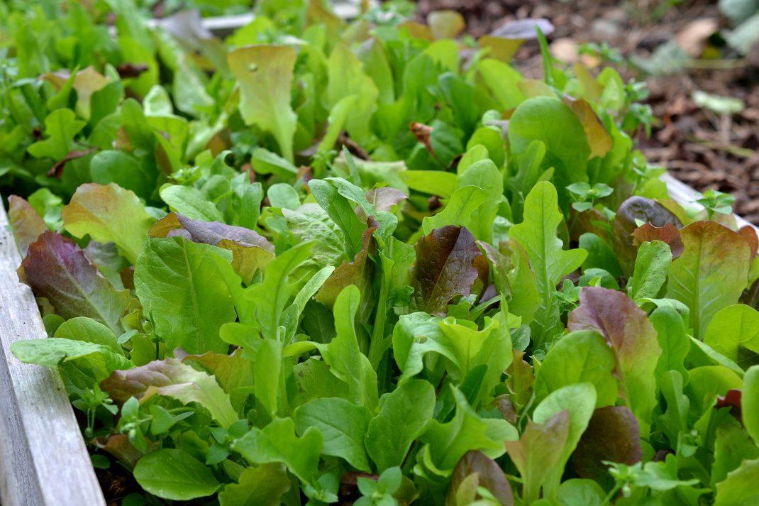 En odlingslåda med fin späd sallat. Sow in August, lettuce.