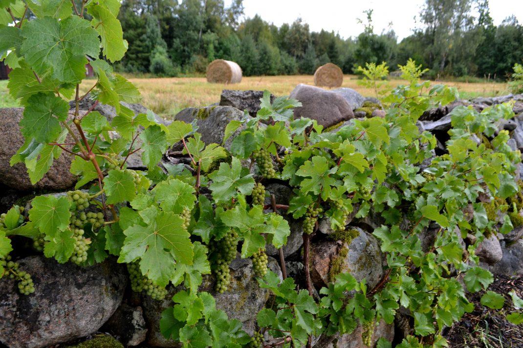 Vinranka längs stenmuren i trädgården.