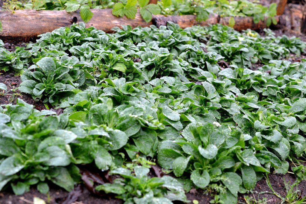 En grön matta av mörkt gröna bladrosetter.