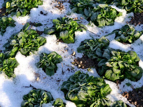 Plantor av vintersallat på friland omgivna av snö.