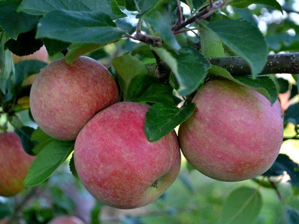 Närbild på äpplen på ett träd.