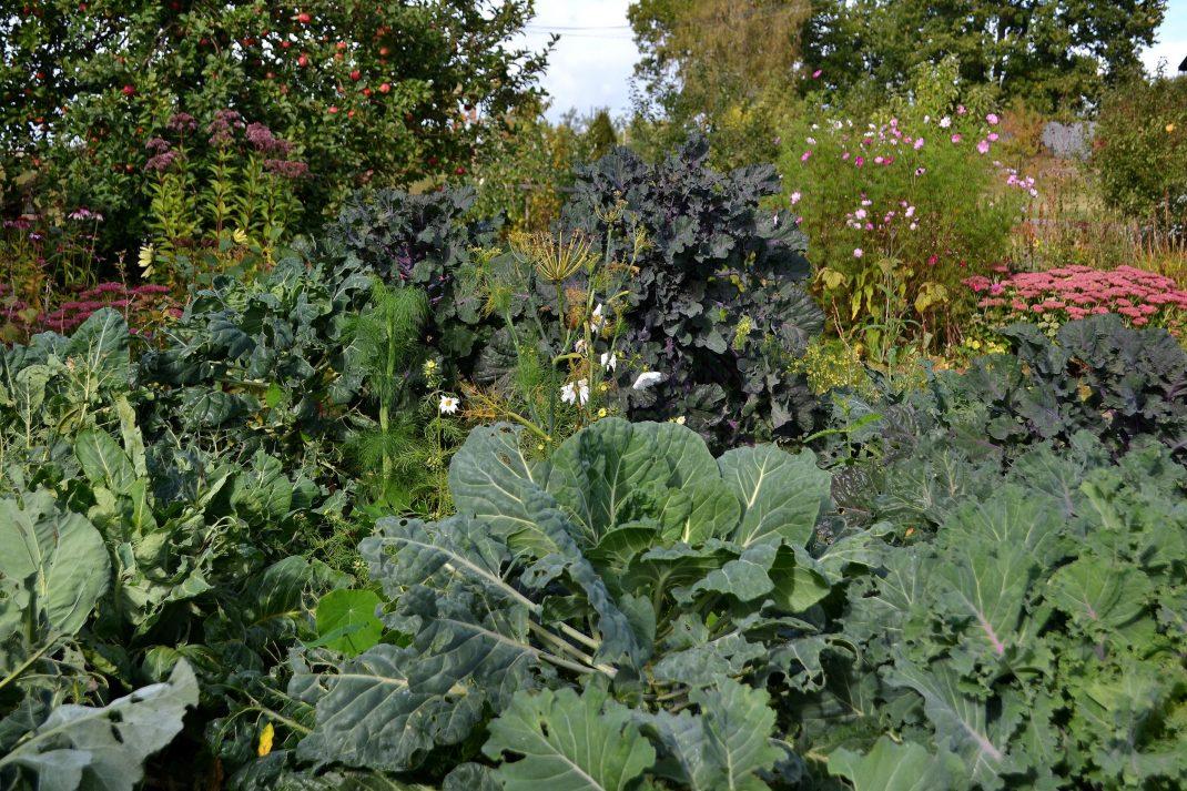 Höga kålplantor i köksträdgården.