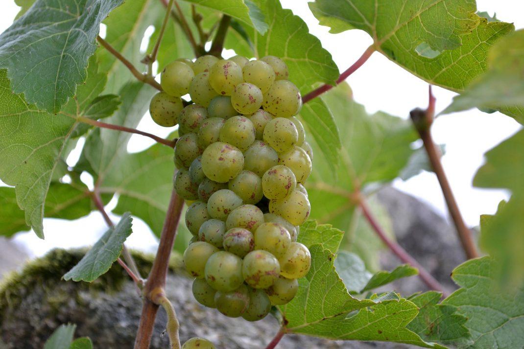 En klase druvor hänger på en planta.