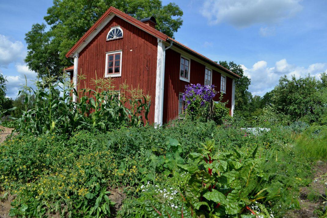 Köksträdgården i juli med massa gröna grönsaker framför ett rött trähus.
