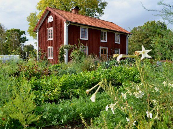 Köksträdgården med falurött hus i bakgrunden.