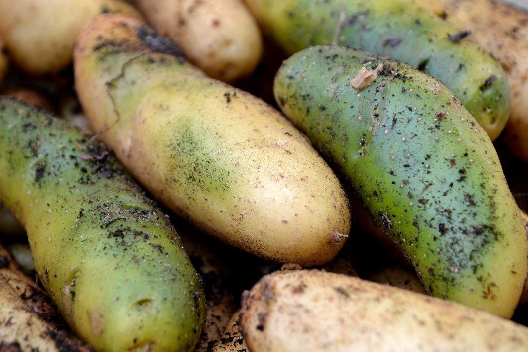 Gröna potatisar i en liten hög.