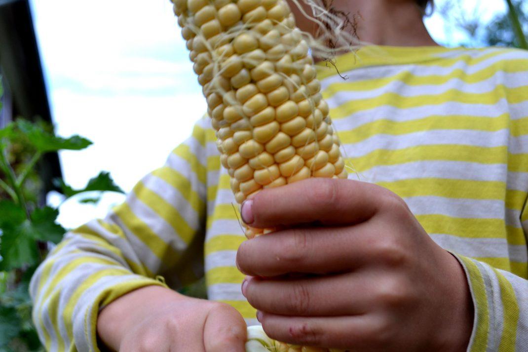 Ett barn skalar en fin majskolv.