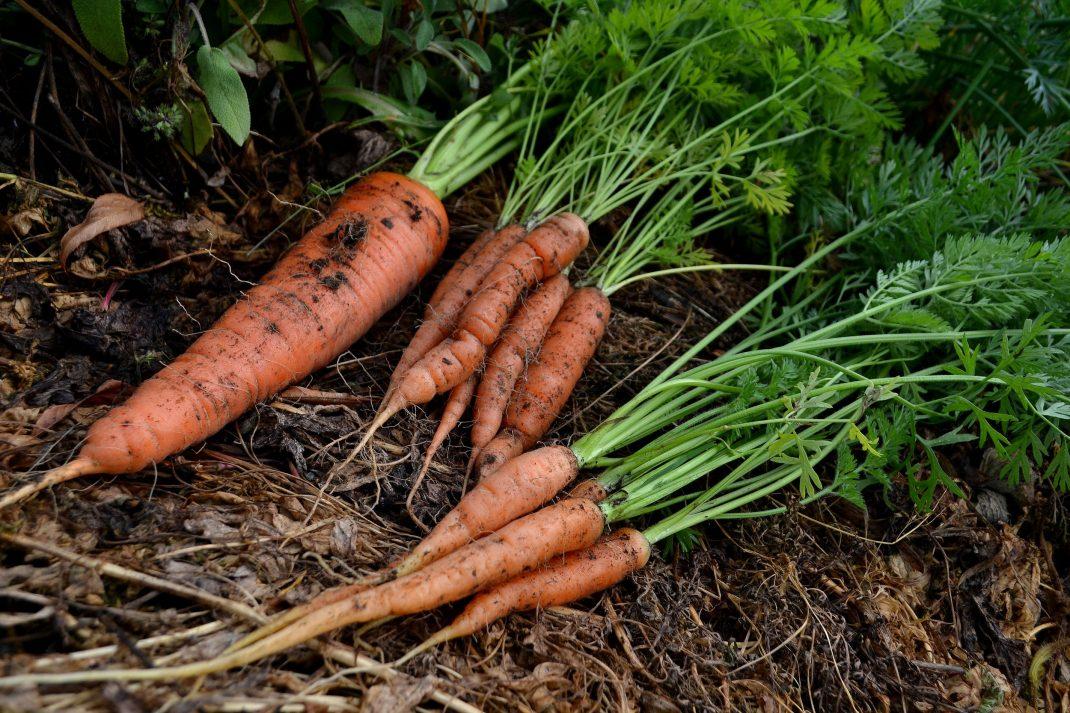 Knippen med morötter på marken.