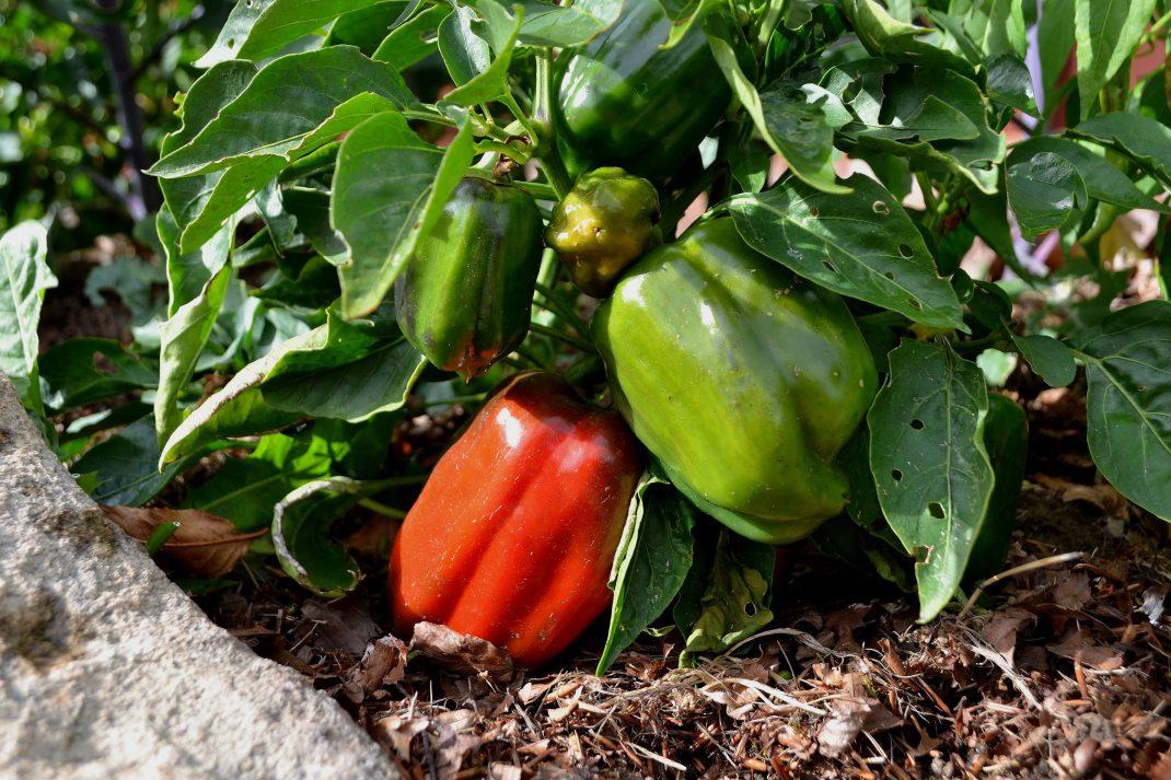 Röda och gröna paprikafrukter.