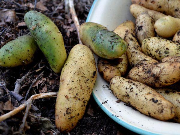 Potatis i en emaljbytta, grön.