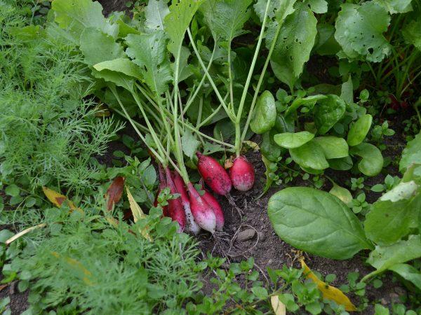 Bladgrönsaker och rädisor i trädgården.