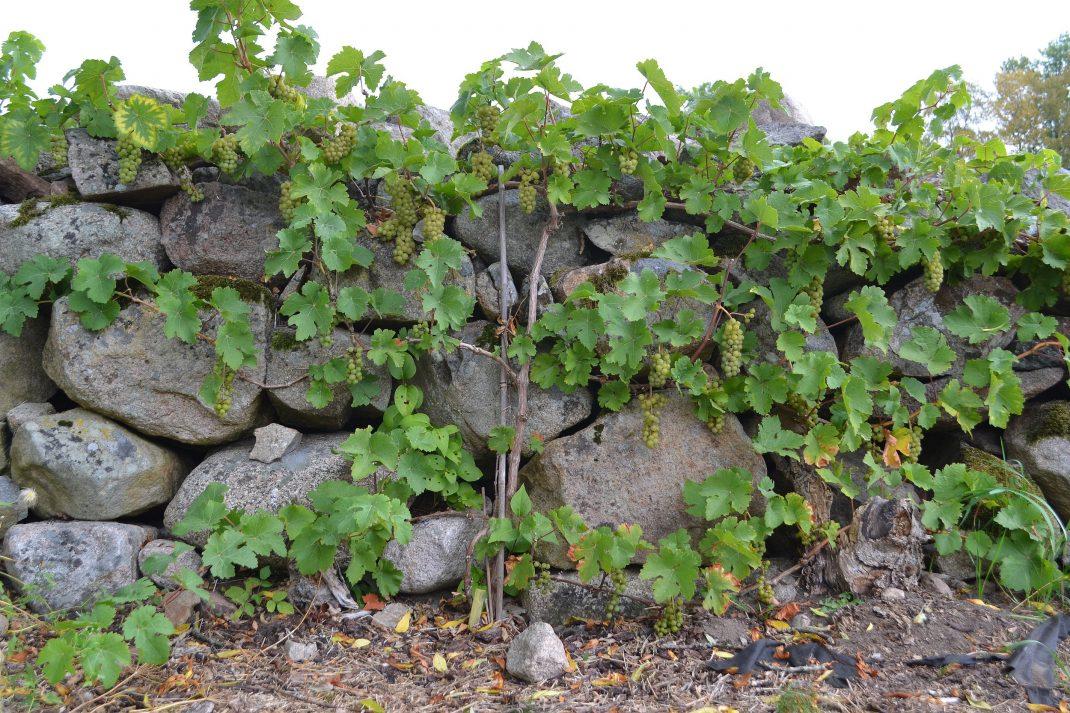 En vinranka som växer längs en stenmur.