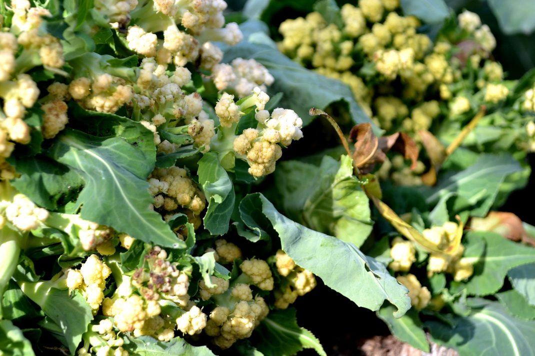 Det ser ut som en blomsterbukett med små vita blommor men är ett blomkålshuvud som vuxit på fel sätt.