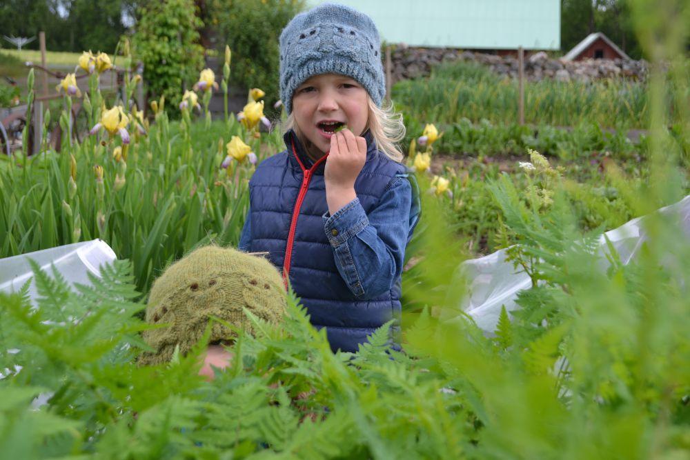 Ett barn äter körvel i köksträdgården.