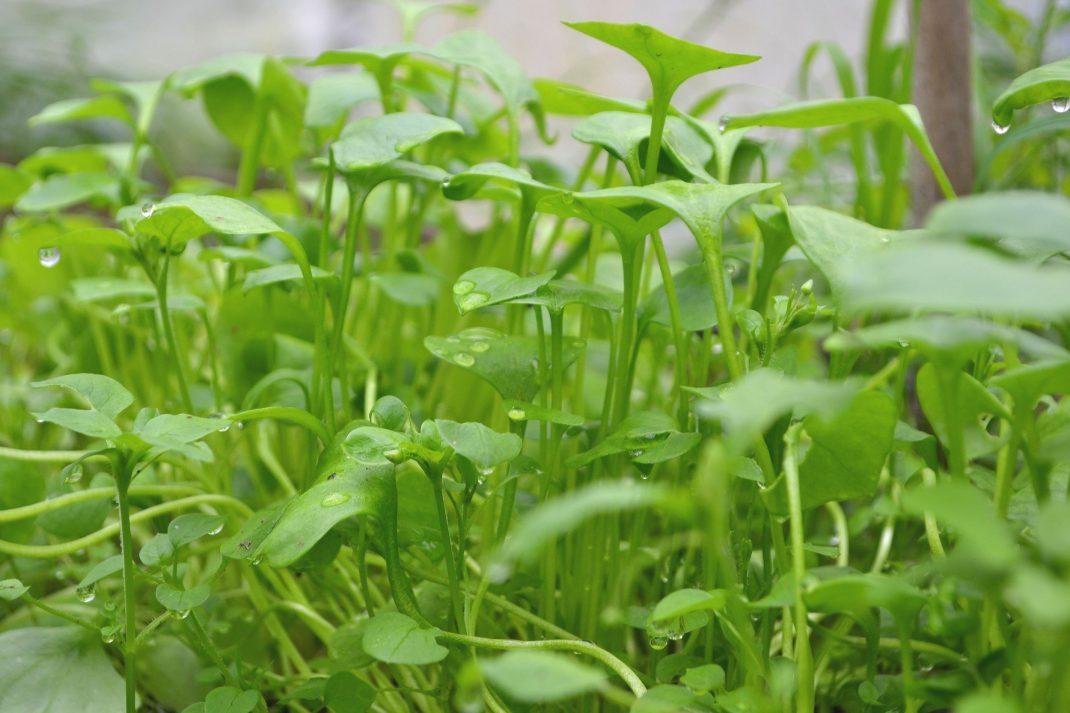 Späda blad på långa stjälkar, ljust gröna.