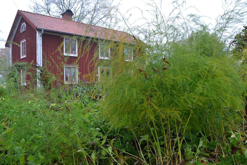 Höga sparrisplantor med huset i bakgrunden.