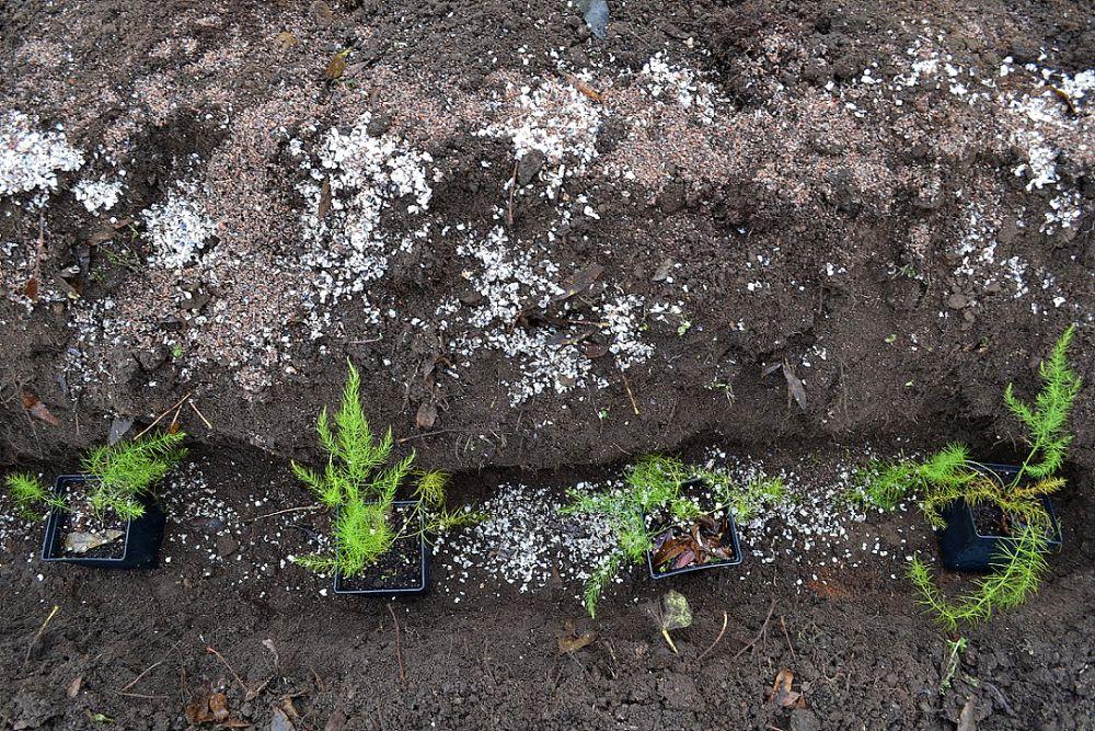 En fåra med sparrisplantor i och sand och snäckskal på jorden bredvid.