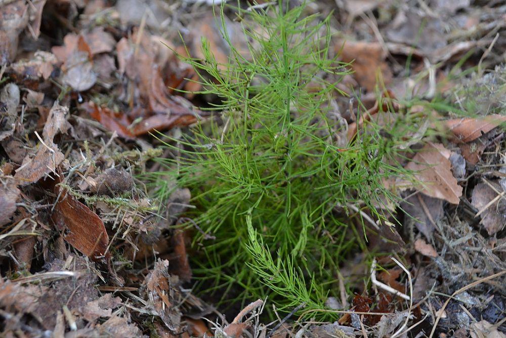 En liten grön planta omgiven av löv och gräsklipp.