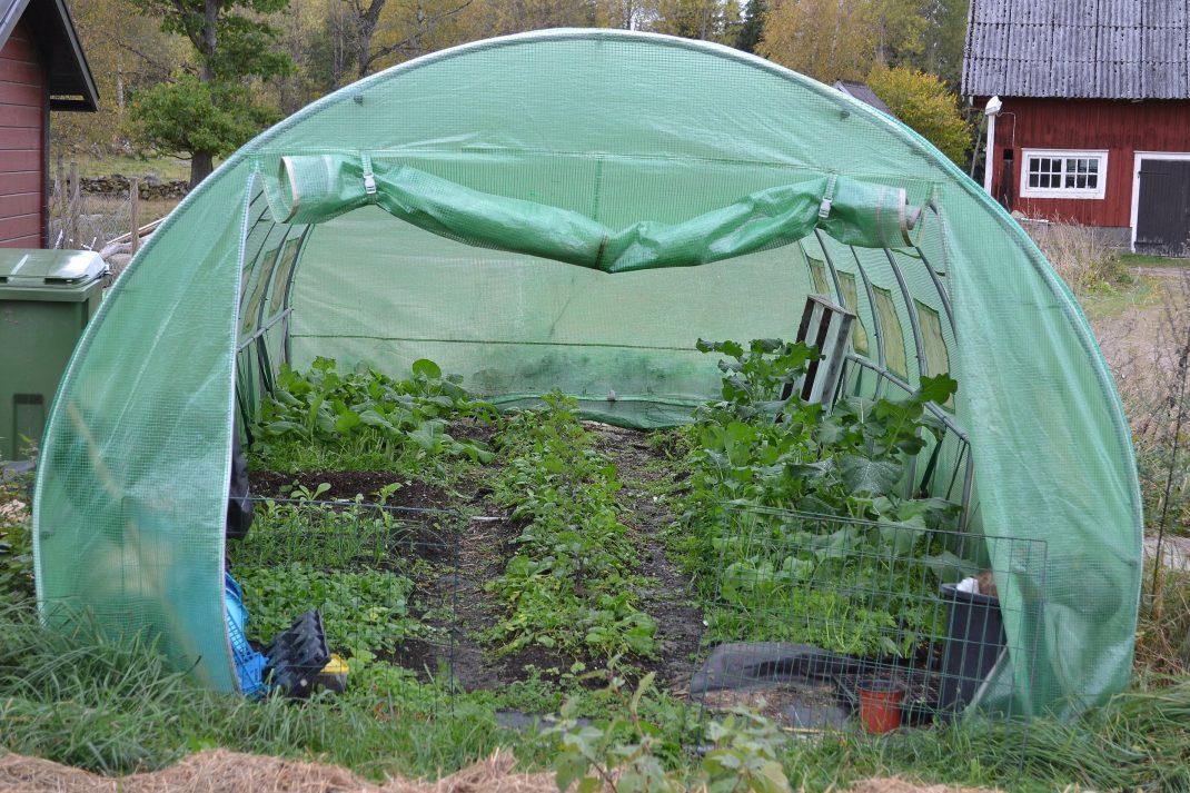 Insyn i tunnelväxthuset med många grönsaker ståendes i bäddarna.
