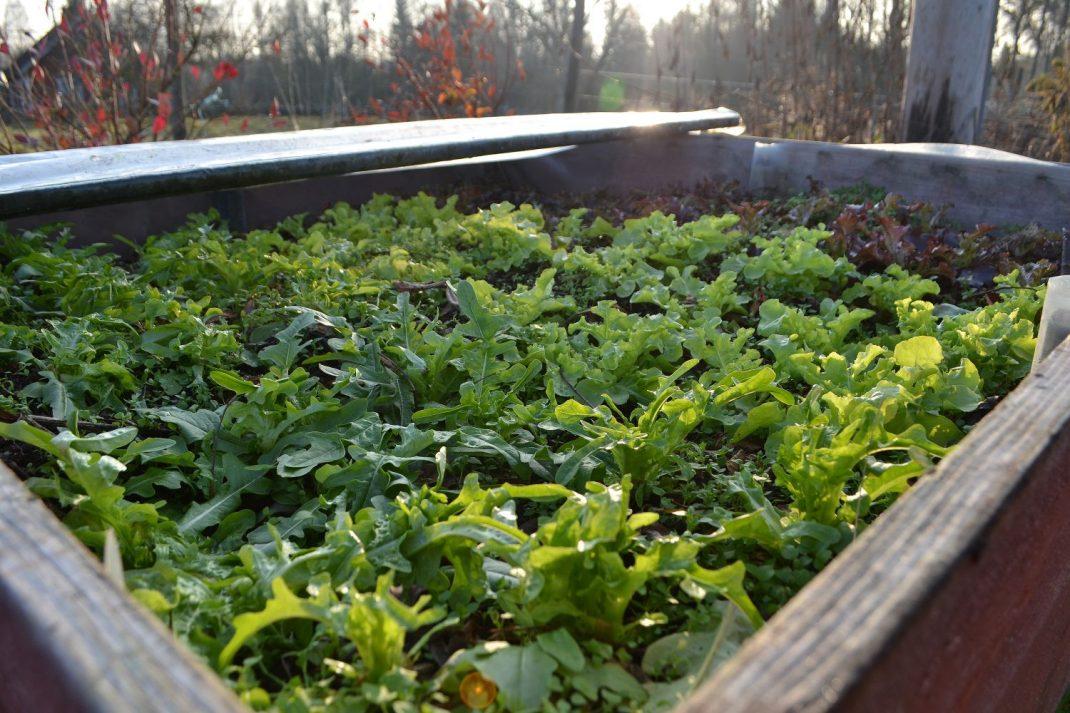 En odlingslåda med massor av gröna och lila sallat.
