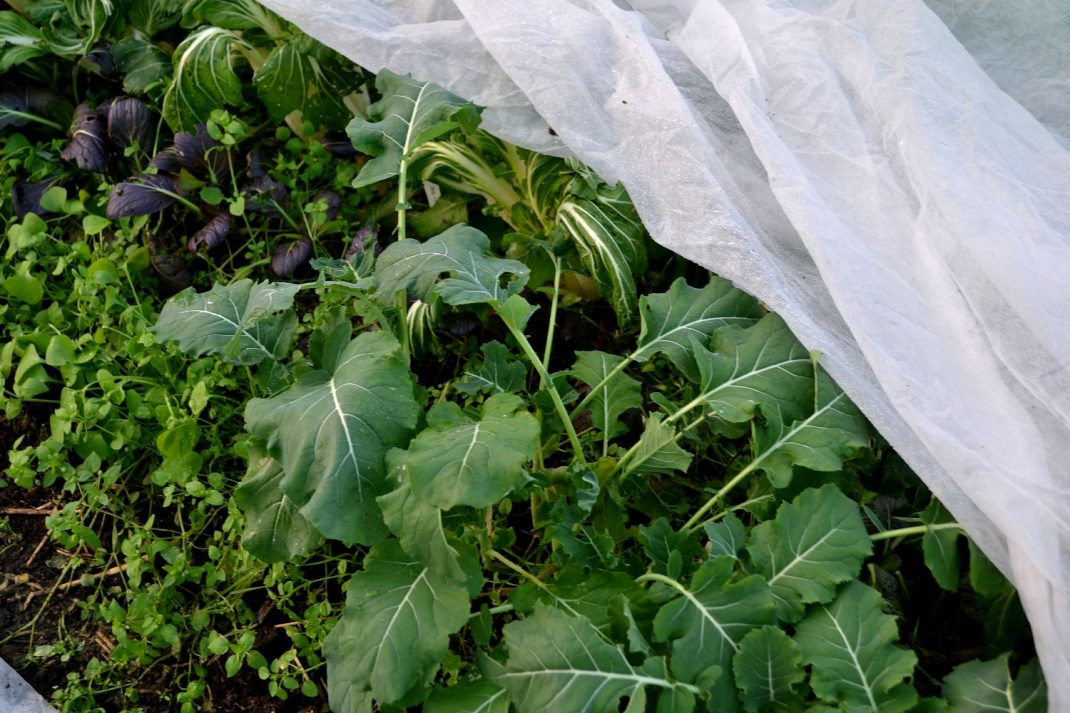 Gröna kålplantor under fiberduk.
