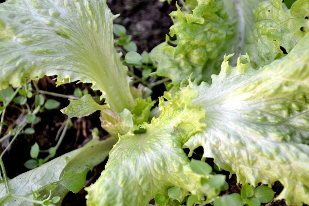 En grön liten sallatsplanta som står i tunnelväxthus.