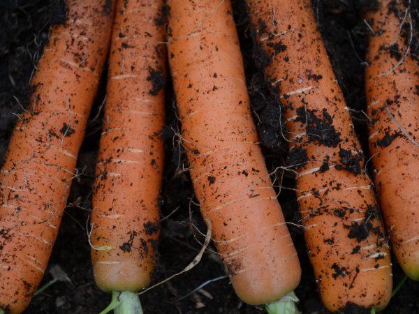 Fina raka morötter i orange mot svart jord.