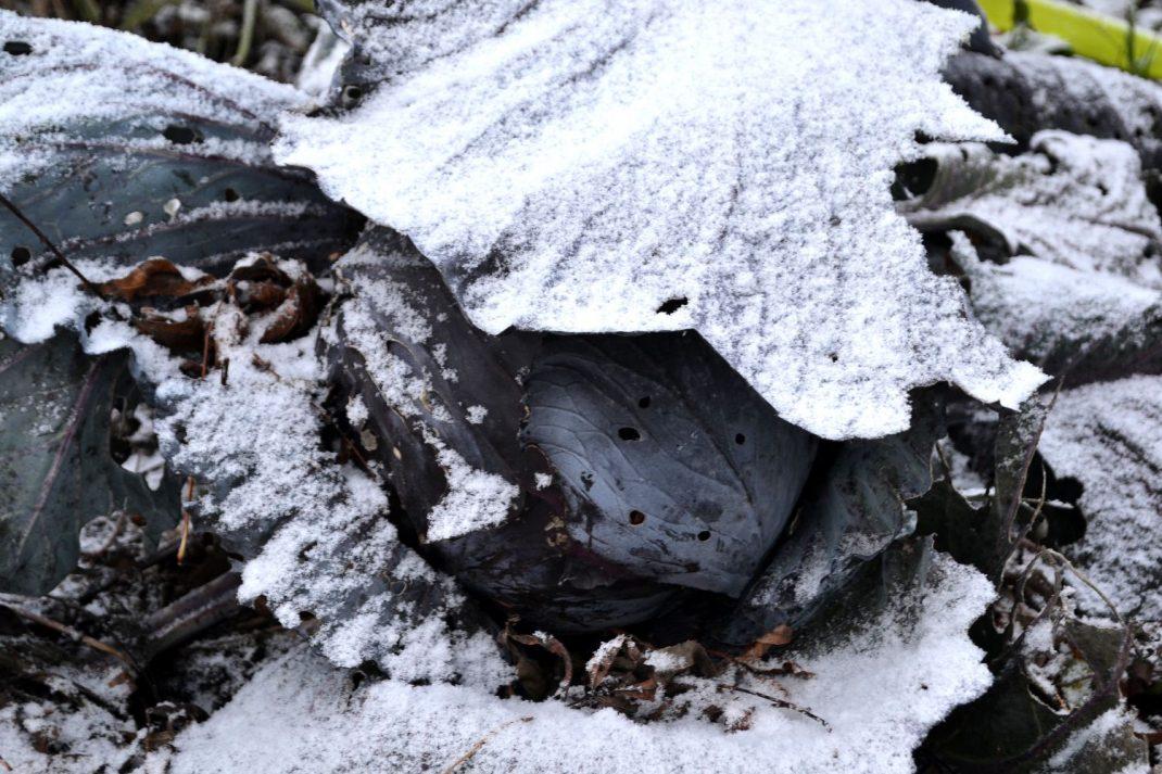 En fin planta rödkål täckt av ett tunt lager snö.