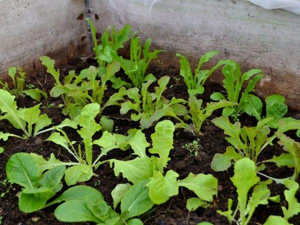 Små sallatsplantor i en pallkrage.