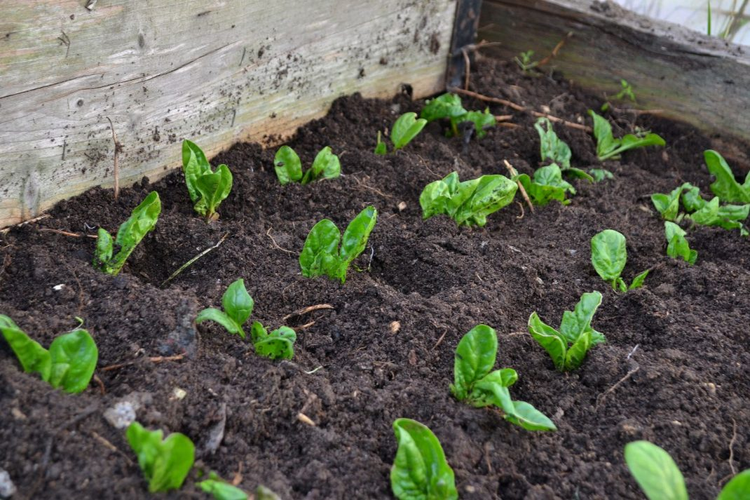 Plantor i jord i tunnelväxthuset. Transplanting spinach, plants in my polytunnel.