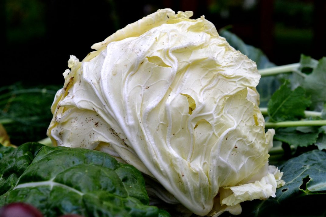 En av mina favoriter är savoykålen 'San Michele'. Ett närmast vitt huvud innanför gröna foderblad med lila bladnerver. En måste-ha-kål! Cabbage head, San Michele.