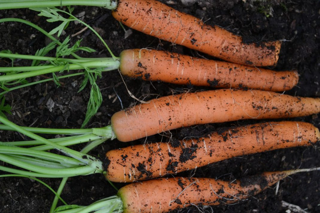 En bunt sommarmorötter mot svart jord. Growing carrots all year round, a bunch of carrots against the black soil.