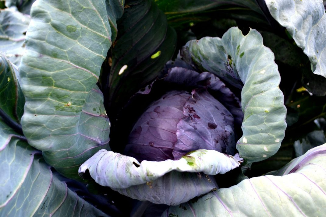 A lovely red cabbage head in a garden bed.