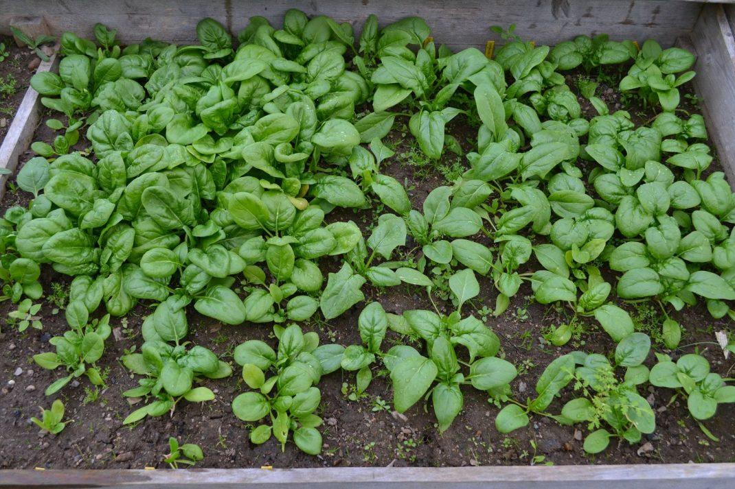 Olika sorters spenat gror och växer olika snabbt på olika växtplatser. Här är spenat som såddes i januari, grodde i mars och skördades i april. Växte inom en odlingsram med lock.