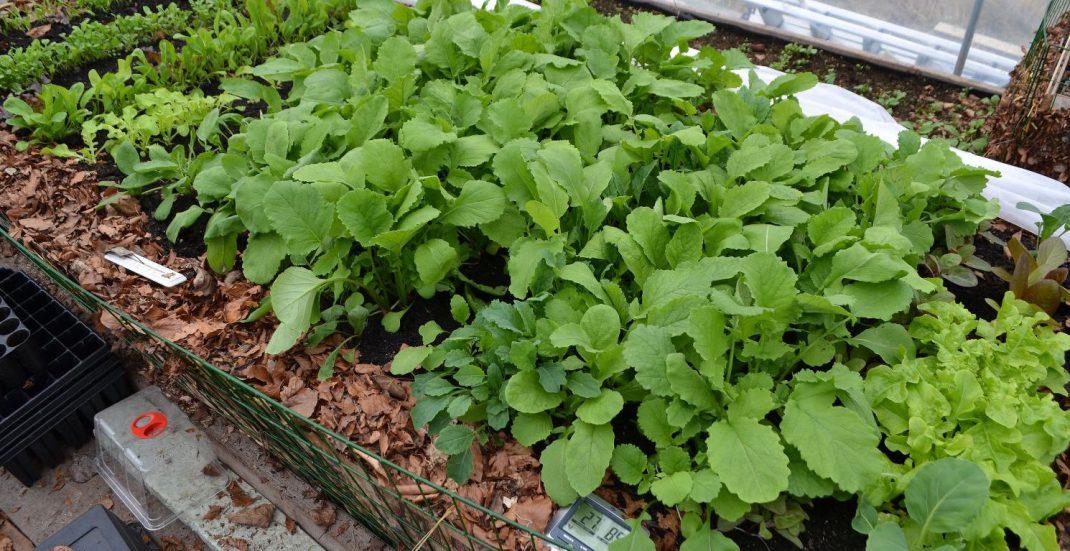 En odlingsplats fylld med läckra bladgrönsaker.