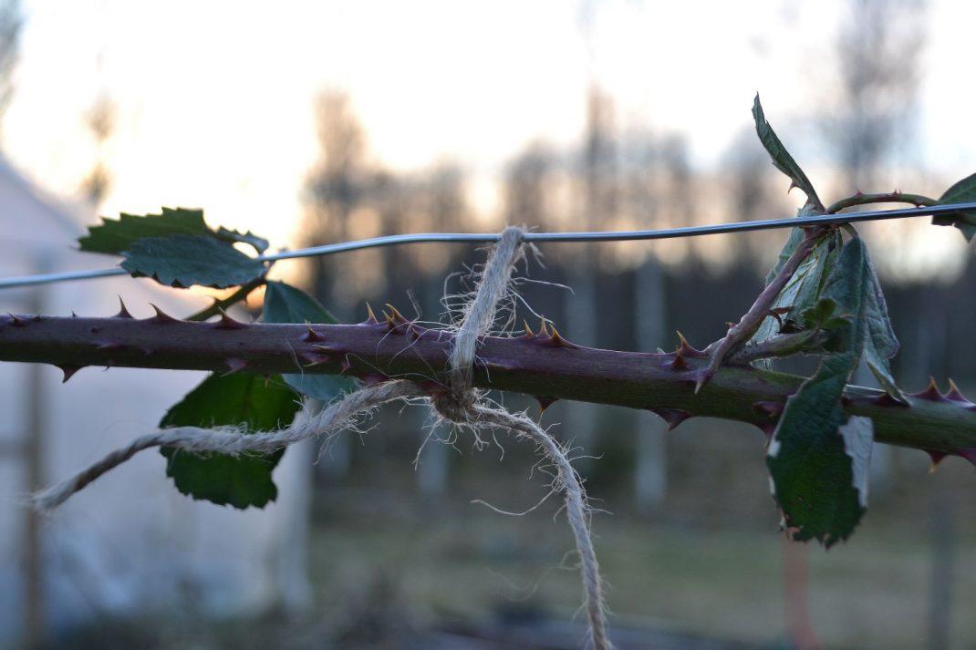 En gren från björnbär som bundits upp längs en ståltråd.