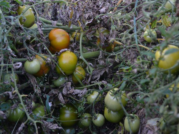 En brungrön sörja av plantor drabbade av bladmögel