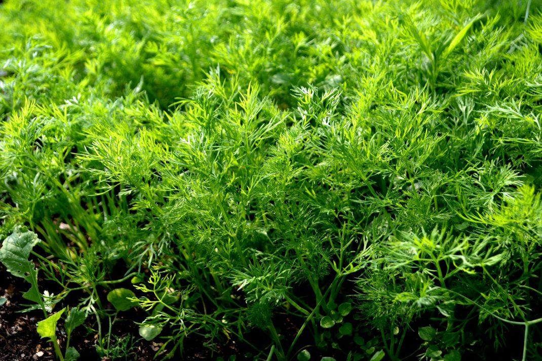 En tät matta av gröna dillblad.