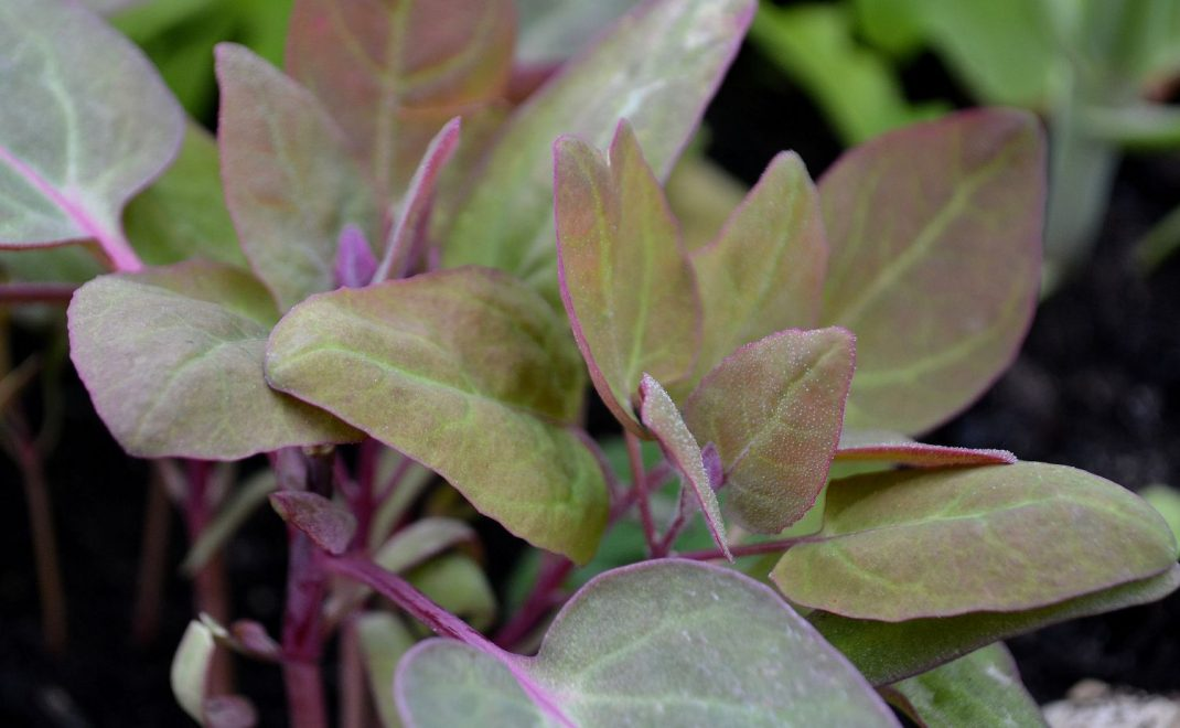 En vacker bladgrönsak i grön-röda toner.