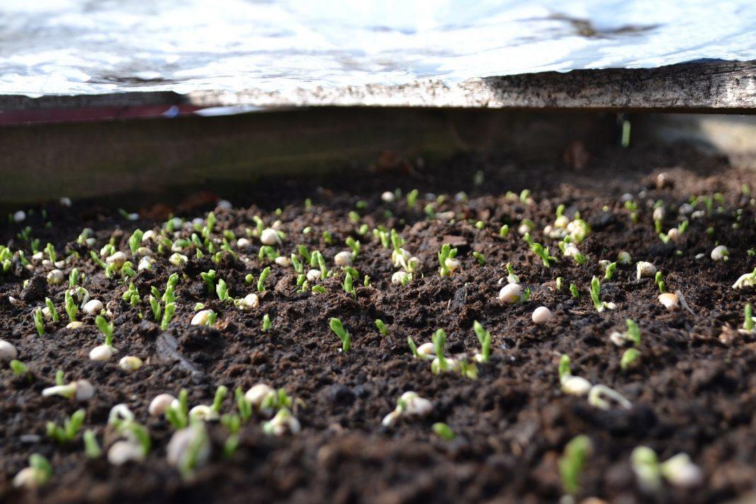 Nyss grodda ärter på jorden i en pallkrage