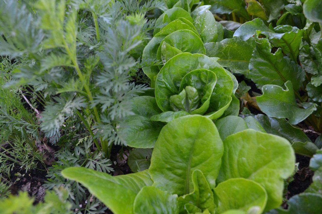 Grönsaker bredvid varandra tätt, tätt i varmbänken.