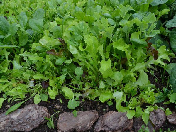 Gröna blad täcker marken i tunnelväxthuset.