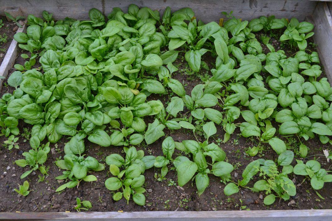 Spenat som växer i en odlingslåda. Winter sow, spinach growing in a box.
