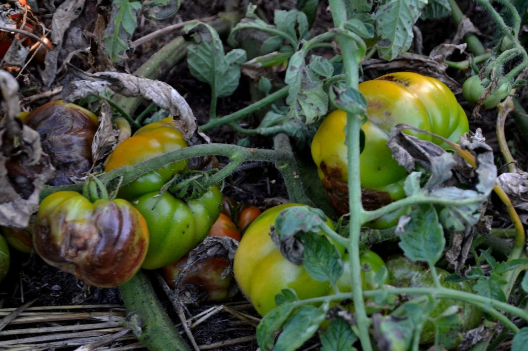 Tomater som ruttnar efter att ha drabbats av potatisbladmögel.