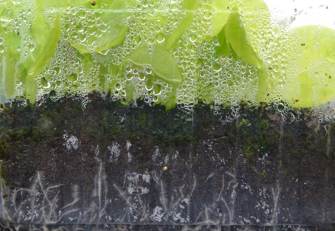 En närbild på ett genomskinligt odlingstråg med rötter.