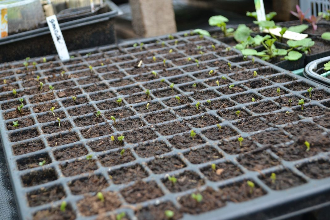 Ett brätte med små kålplantor som börjat gro.