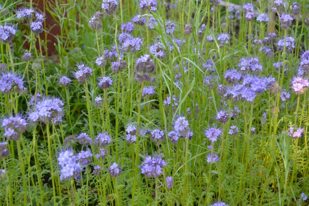 Ett område med blå blommor i köksträdgården. Alternatives to manure, blue flowers in my kitchen garden.