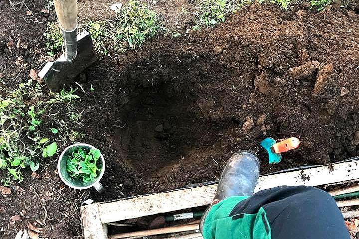 En grop grävd i jorden i tunnelväxthuset. Getting rid of couch grass, a hole in the soil in my polytunnel.