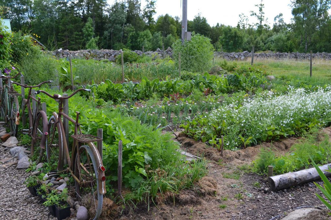 Vy från köksträdgården i juli. Alternatives to manure, view from my kitchen garden in July.